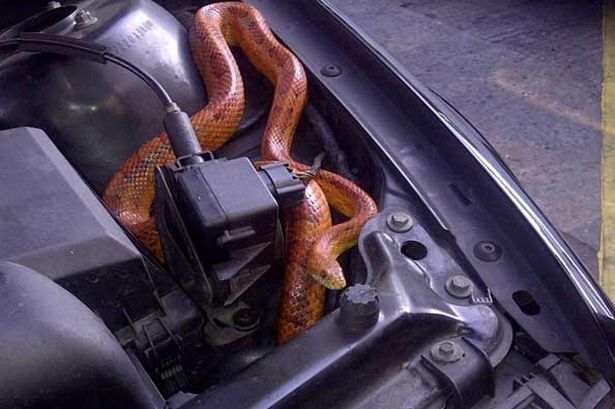 snake-hiding-inside-the-engine-of-a-car-pic-swns-728385636.jpg